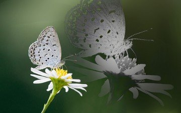 insect, reflection, flower, butterfly, wings, daisy