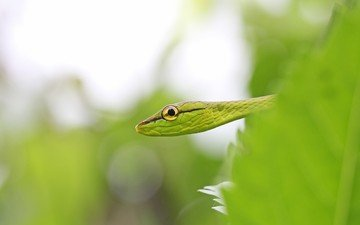 leaves, macro, snake, eyes, vineyard