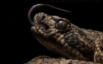 snake, black background, reptile, reptiles