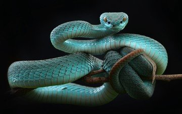 snake, black background, reptile, reptiles, mamba