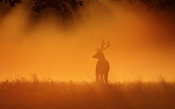 the sky, grass, deer, sunset, horns, hammerchewer