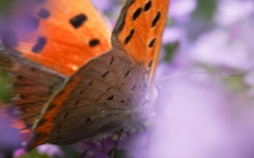 macro, insect, butterfly, wings