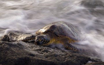 water, sea, turtle, reptile, sea turtle, reptiles