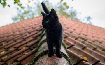 eyes, cat, summer, black, roof