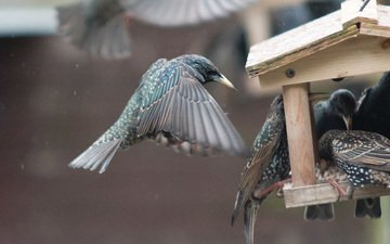 wings, birds, starling, feeder