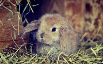 grass, hay, ears, rabbit
