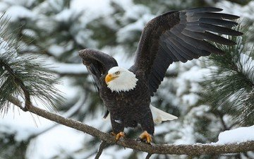 branch, wings, predator, bird, bald eagle