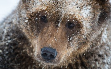 face, snow, bear, brown bear, michael merl
