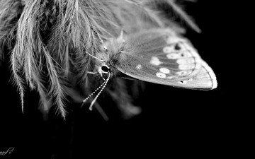 insect, butterfly, black and white, wings