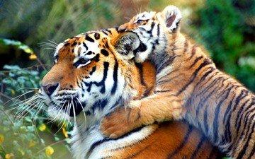 тигр, животные, тигренок, дикие кошки, тигры