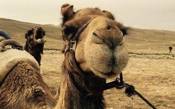пейзаж, пустыня, верблюд, верблюды