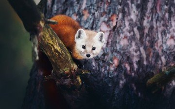 face, tree, look, marten