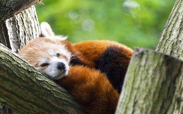панда, животное, красная панда, малая панда