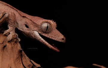 lizard, black background, gecko, reptile