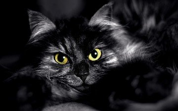 eyes, cat, muzzle, look, black and white, fluffy, black