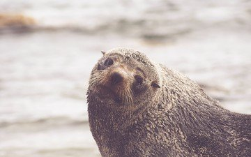 mustache, look, seal, sea lion