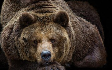 portrait, look, bear