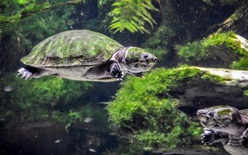 turtle, underwater world, turtles, reptiles