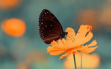 insect, flower, petals, butterfly, wings, kosmeya