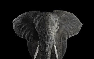 elephant, black and white, african elephant, brad wilson