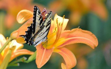 insect, flower, butterfly, wings, lily