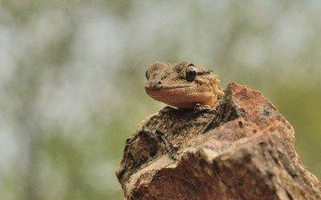 ящерица, геккон, рептилия, пресмыкающееся