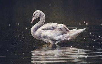 вода, природа, крылья, птица, клюв, лебедь