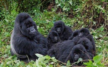 ветки, семья, горилла, примат, обезьяны, детеныши