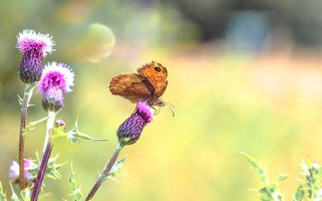 plants, insect, butterfly, wings, thistle