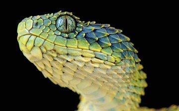 макро, змея, черный фон, чешуя, рептилия, гадюка, шершавая древесная гадюка