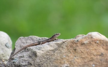lizard, stone, color, reptile