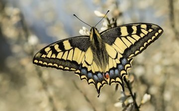 flowers, insect, butterfly, wings, bokeh, swallowtail