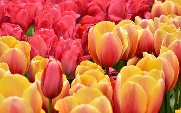бутоны, лепестки, тюльпаны