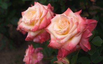 бутоны, листья, макро, розы, лепестки