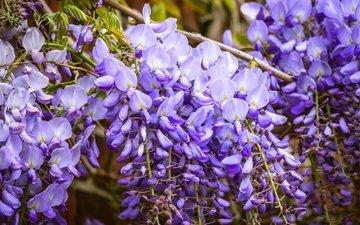 цветы, цветение, ветки, сад, весна, фиолетовые, сиреневые, глициния, вистерия