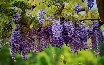 flowers, tree, leaves, branches, inflorescence, wisteria