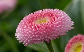 flowers, macro, petals, bud, daisy, margarine