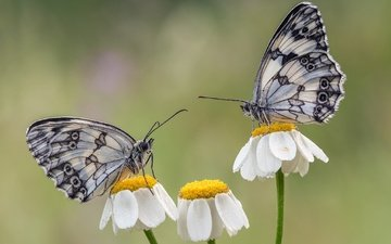flowers, wings, insects, chamomile, butterfly