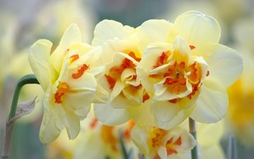 flowers, flowering, flower, narcissus
