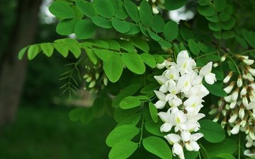 tree, flowering, spring, white, acacia