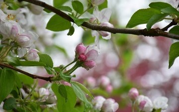 tree, flowering, spring, apple