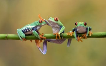 nature, background, bamboo, frogs, amphibians, tree frog, hehaden