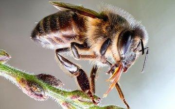 глаза, макро, насекомое, фон, пчела, пыльца, стебелёк