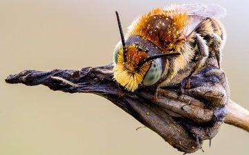 глаза, макро, насекомое, фон, растение, усики, пчела, пыльца