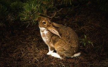 хвоя, ветки, темный фон, кролик, заяц, зайчик, грызун