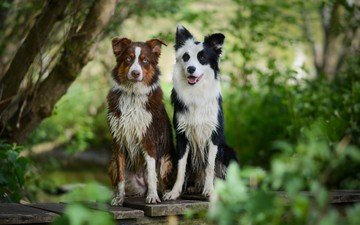 nature, look, dogs, faces, collie, australian shepherd, the border collie