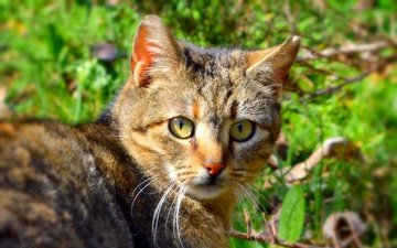 кот, мордочка, усы, кошка, взгляд, боке