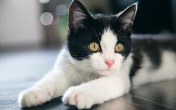 мордочка, усы, кошка, взгляд, котенок, боке, лежа, желтые глаза