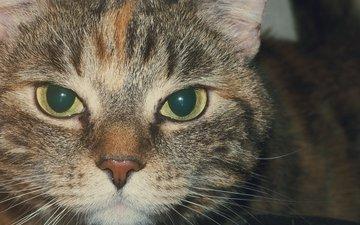 кот, мордочка, усы, кошка, взгляд, полосатый
