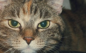 cat, muzzle, mustache, look, striped